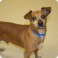 Terrier (Unknown Type, Medium)/Dachshund Mix Dog for adoption in Columbia, Tennessee - Skeeter/GA