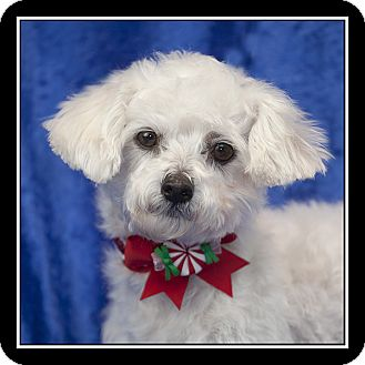 Maltese Dog for adoption in San Diego, California - Tiny Tina