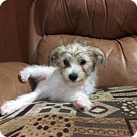 Adopt A Pet :: Bundle of Jack Russell Rescued - El Cajon, CA