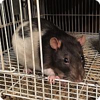 Adopt A Pet :: Ratticate - Hammond, IN