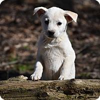Adopt A Pet :: Fancie - Groton, MA