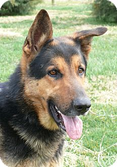 German Shepherd Dog Dog for adoption in Nashville, Tennessee - Jackson