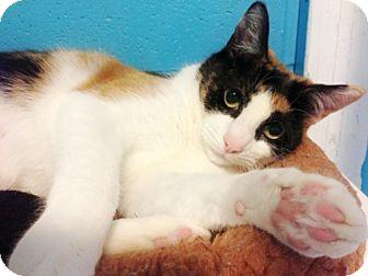 Calico Cat for adoption in Huntington, New York - Nina