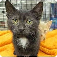 Adopt A Pet :: Koda - The Colony, TX