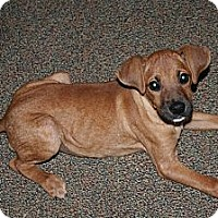 Adopt A Pet :: Brownee - Westfield, IN