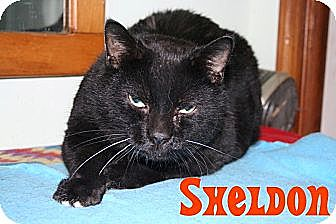 Domestic Shorthair Cat for adoption in East Stroudsburg, Pennsylvania - Sheldon