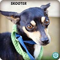 Adopt A Pet :: Skooter - Kimberton, PA