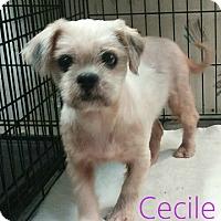 Adopt A Pet :: Cecile - House Springs, MO
