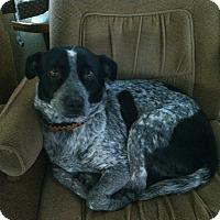 Adopt A Pet :: Blue - Santa Rosa, CA