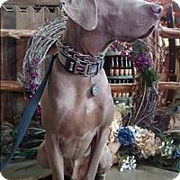 Adopt A Pet :: DUKE - Corte Madera, CA