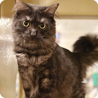 Maine Coon Cat for adoption in Gainesville, Virginia - Sydney