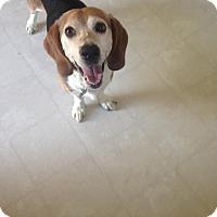 Adopt A Pet :: Opie - Hazel Park, MI
