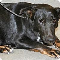 Shepherd (Unknown Type)/Labrador Retriever Mix Dog for adoption in Wildomar, California - Nora