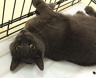 Domestic Shorthair Cat for adoption in Montreal, Quebec - Tessa
