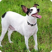 Rat Terrier/Jack Russell Terrier Mix Dog for adoption in Franklin, Tennessee - MRS. BEASLEY