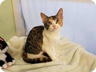 Domestic Shorthair Kitten for adoption in Alamo, California - MSF4