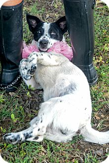 Spaniel (Unknown Type)/Cardigan Welsh Corgi Mix Dog for adoption in Muldrow, Oklahoma - Harper