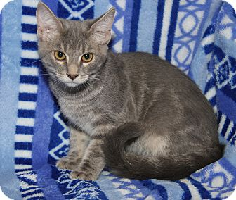Domestic Shorthair Cat for adoption in Marietta, Ohio - Piper (Purrty Girl's Kitten)