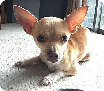 Chihuahua Mix Dog for adoption in Houston, Texas - Cookie