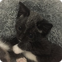 Adopt A Pet :: Dumpling - Tampa, FL