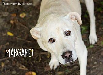 Labrador Retriever Dog for adoption in Liberty, Missouri - Maggie