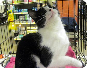 Domestic Shorthair Cat for adoption in Overland Park, Kansas - Button
