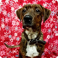 Adopt A Pet :: Opie - Hornell, NY