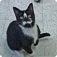 Domestic Shorthair Kitten for adoption in Chambersburg, Pennsylvania - Chocolate
