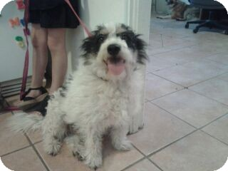 Jack Russell Terrier Mix Dog for adoption in Glendale, Arizona - Jack