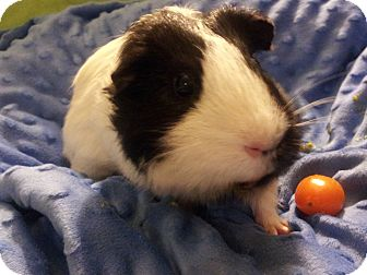 Guinea Pig for adoption in Fullerton, California - Yukito