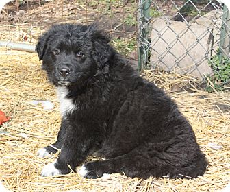 Australian Shepherd Mix Puppy for adoption in kennebunkport, Maine - Dexter - PENDING, in Maine