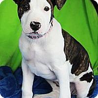 Adopt A Pet :: Frankie(female) - Shrewsbury, NJ