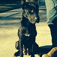 Labrador Retriever Mix Dog for adoption in Slidell, Louisiana - Patsy (Cline)