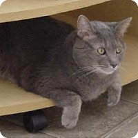 Russian Blue Cat for adoption in Cincinnati, Ohio - zz 'Shakespeare'