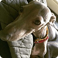 Adopt A Pet :: Frodo in Austin - Argyle, TX
