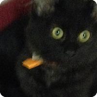 Adopt A Pet :: Ovaltine - Colorado Springs, CO