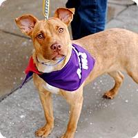 Adopt A Pet :: Shanzy-Foster me? - Detroit, MI