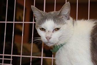 Domestic Shorthair Cat for adoption in Louisville, Kentucky - Tessa