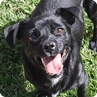 Adopt A Pet :: Lola - Henderson, NV