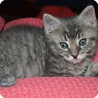Adopt A Pet :: Mycroft - New York, NY