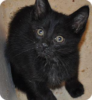 Domestic Shorthair Kitten for adoption in La Canada Flintridge, California - Bagheera
