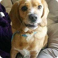 Adopt A Pet :: Flynn - Sacramento, CA