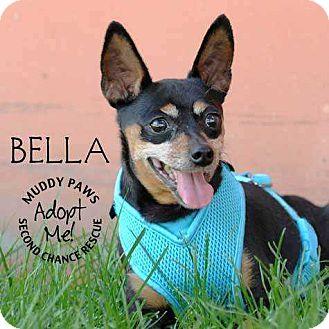 Miniature Pinscher Dog for adoption in Council Bluffs, Iowa - Bella (Miniature Pinscher)