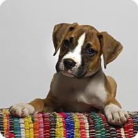 Adopt A Pet :: Brady - Baton Rouge, LA
