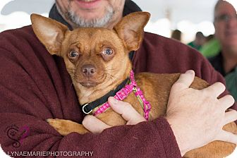 Chihuahua Mix Dog for adoption in Grand Rapids, Michigan - Galloway