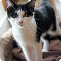 Domestic Shorthair Cat for adoption in Dalton, Georgia - Patrick