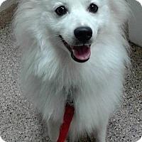 American Eskimo Dog Dog for adoption in Lindsey, Ohio - Shamus of Southern Ohio