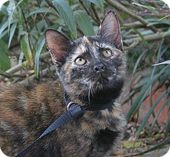 Domestic Shorthair Kitten for adoption in Ocean Springs, Mississippi - French