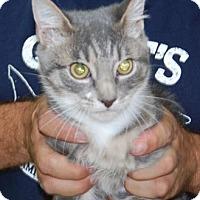Domestic Shorthair Kitten for adoption in Brooklyn, New York - Trick