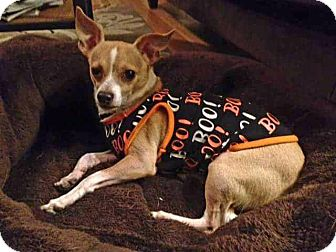 Chihuahua Dog for adoption in Fenton, Missouri - Tiko
